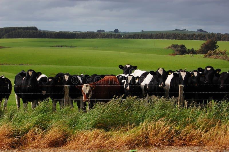 Das Vieh in der Ranch stockfotos