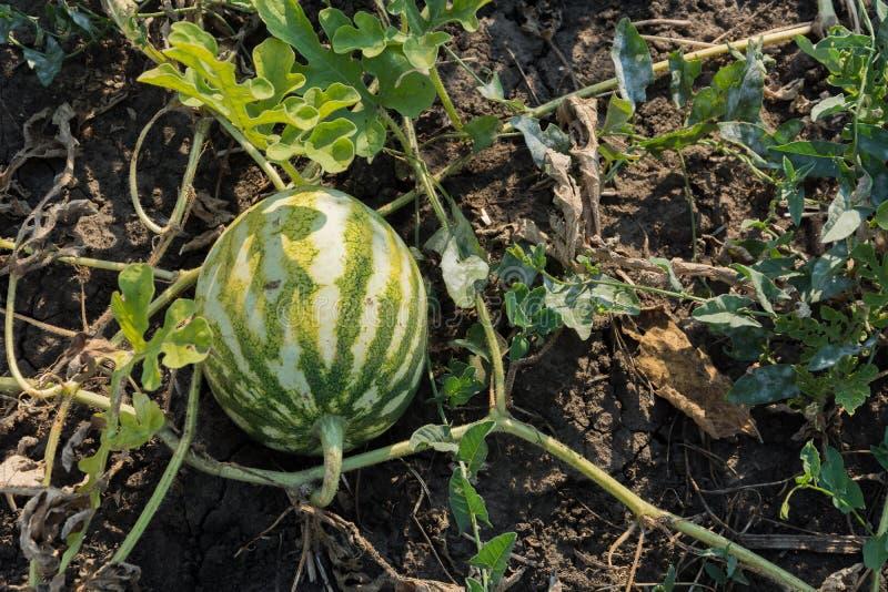 Das Wachstum der Wassermelone auf dem Gebiet Landwirtschaftliche Kultur von Ukraine stockbild