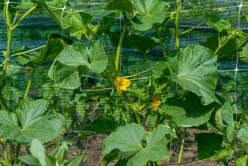 Das Wachstum und das Blühen von Gartengurken lizenzfreies stockfoto