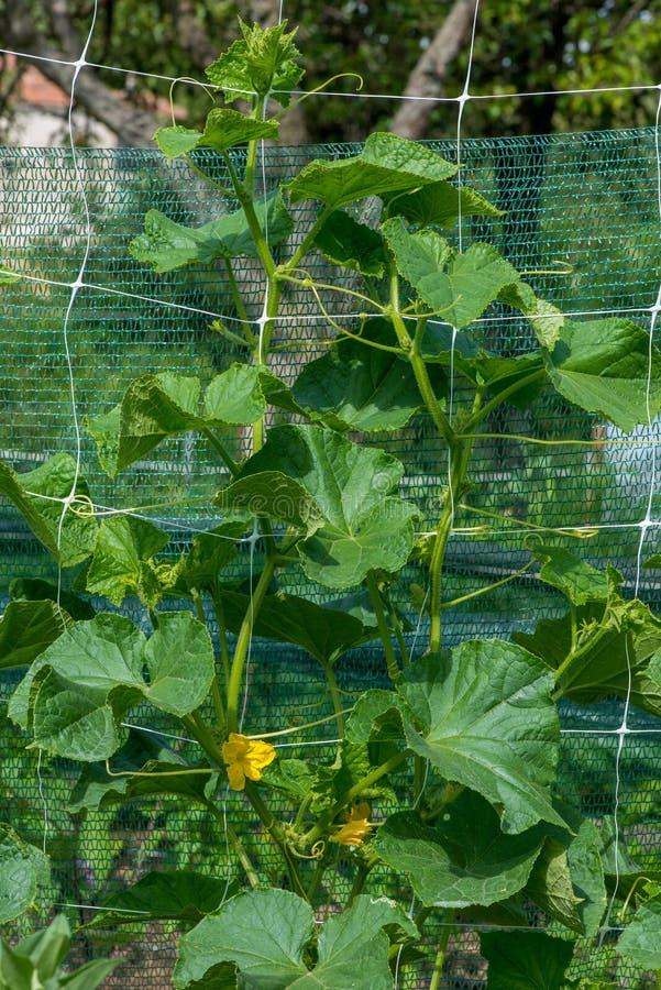 Das Wachstum und das Blühen von Gartengurken stockbild