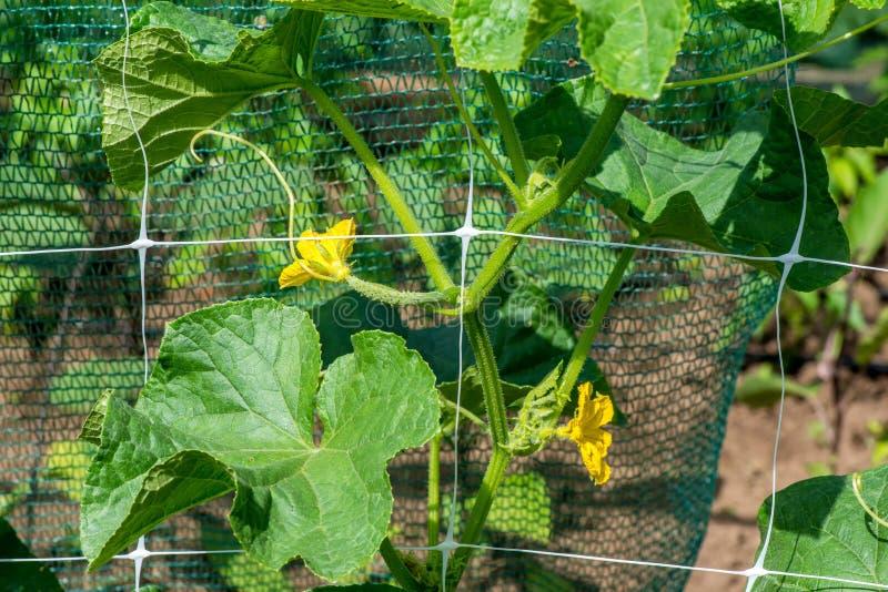Das Wachstum und das Blühen von Gartengurken stockfotos