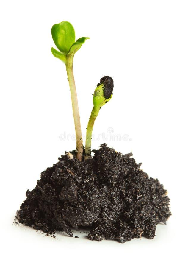 Das Wachstum von Grünpflanzen Wachstumskonzept und -wiederanlauf stockfotografie