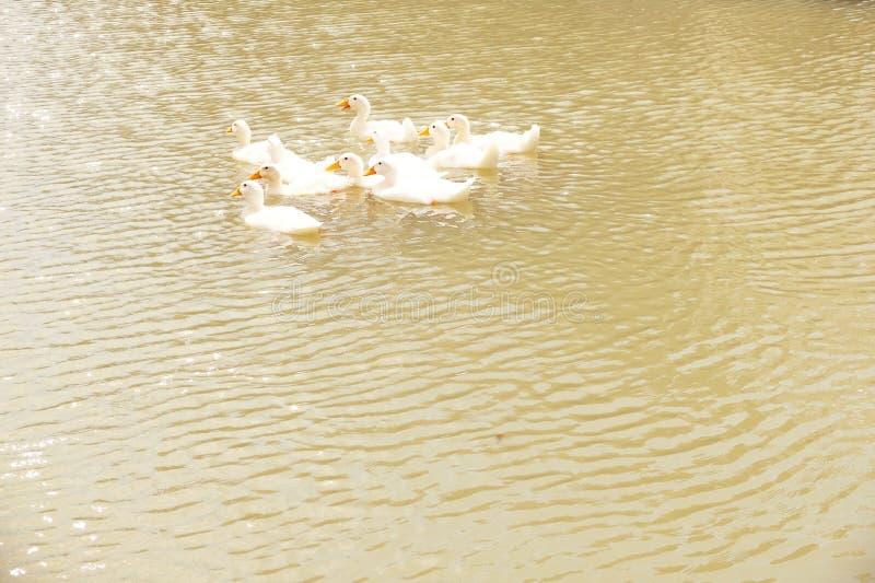 Das weiße Entenschwimmen, Thailand lizenzfreie stockfotografie