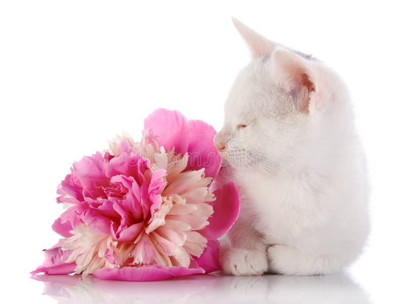 Das weiße Kätzchen liegt nahe einer rosa Blume einer Pfingstrose. stockbild