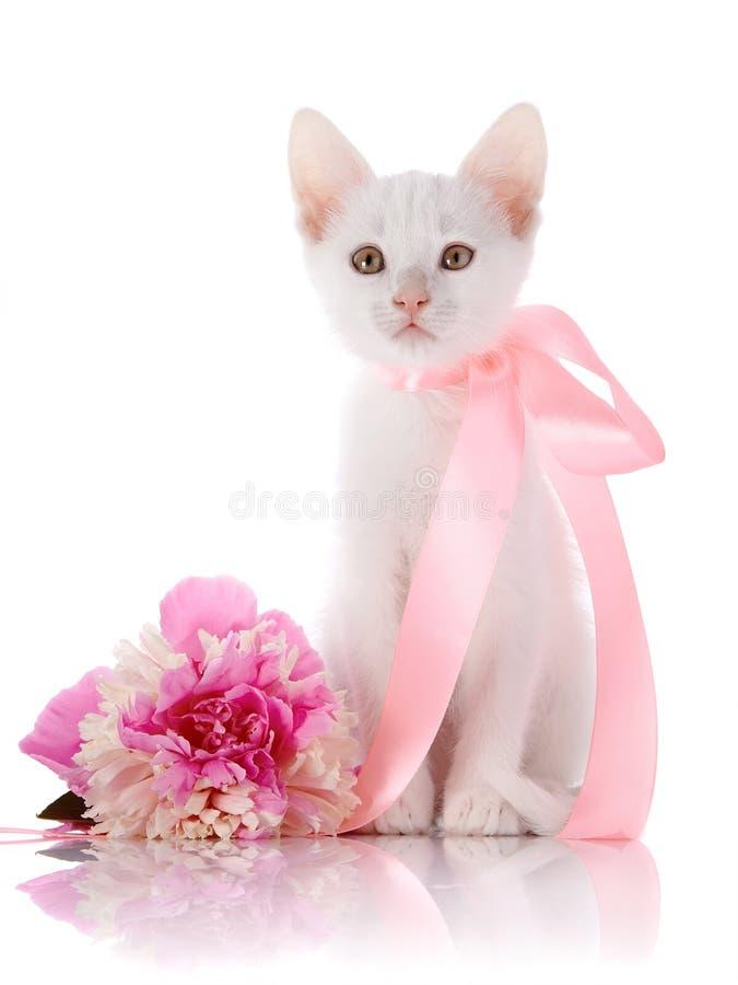 Das weiße Kätzchen mit einem rosa Band sitzt mit einer Pfingstrosenblume. lizenzfreie stockbilder