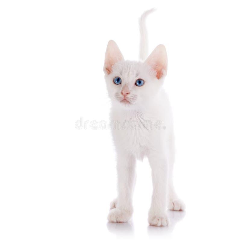 Das weiße Kätzchen mit Kosten der blauen Augen stockfotos