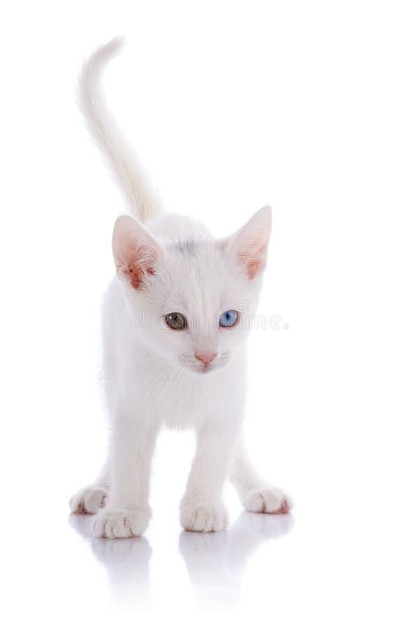 Das weiße Kätzchen mit mehrfarbigen Augen kostet auf einem weißen Hintergrund. stockbild