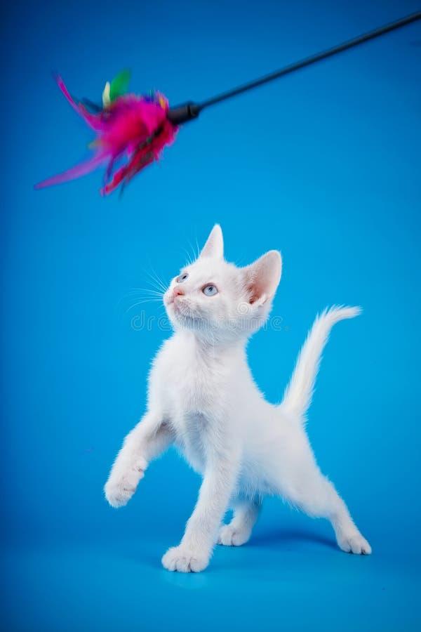 Das Weißkätzchen spielt auf einem blauen Hintergrund. lizenzfreies stockfoto