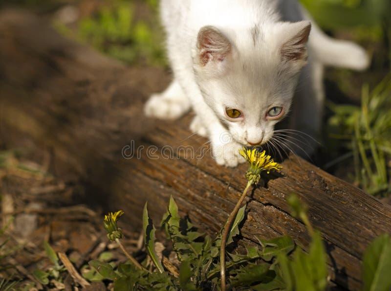 Das weiße Kätzchen mit mehrfarbigen Augen, riecht eine Löwenzahnblume lizenzfreie stockbilder