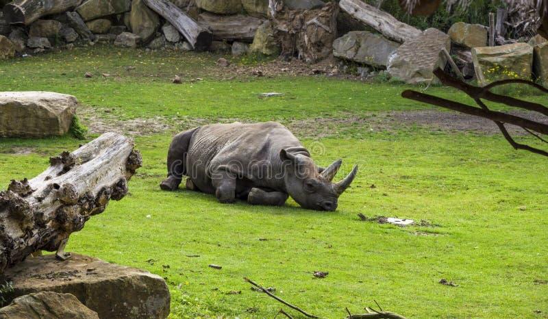 Das weibliche Lügenstillstehen des Nashorns umgeben durch Gras und Bäume lizenzfreie stockfotografie