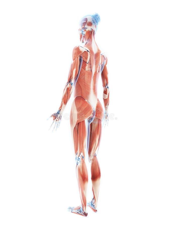 Nett Muskelsystem Zurück Bilder - Menschliche Anatomie Bilder ...