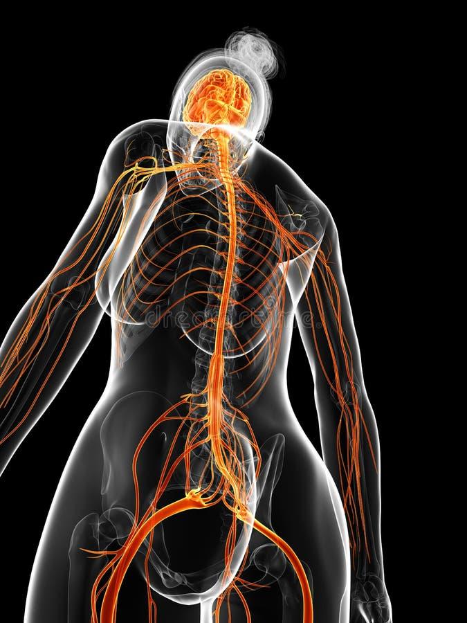 Das weibliche Nervensystem stock abbildung. Illustration von ...