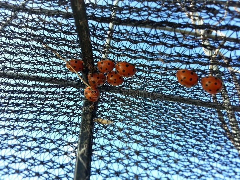 Das wilde Leben, in meinem Garten, kleine Marienkäfer stockfotografie