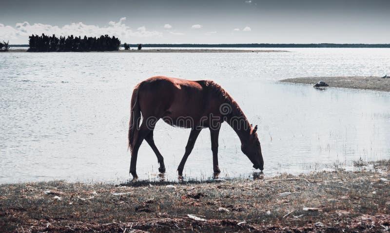 Das wilde Pferd lizenzfreie stockfotografie