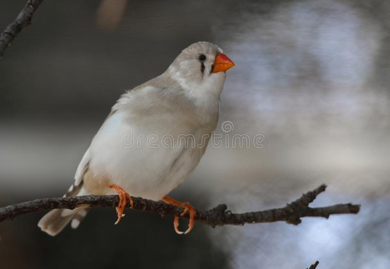 Das Zebrafink Taeniopygia-guttata - weiße Frau stockfotos