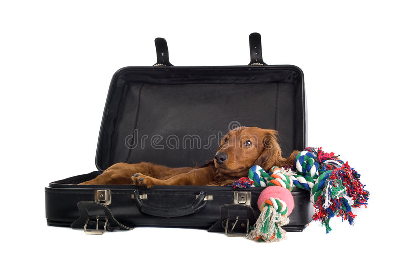 Daschund die in koffer ligt stock foto