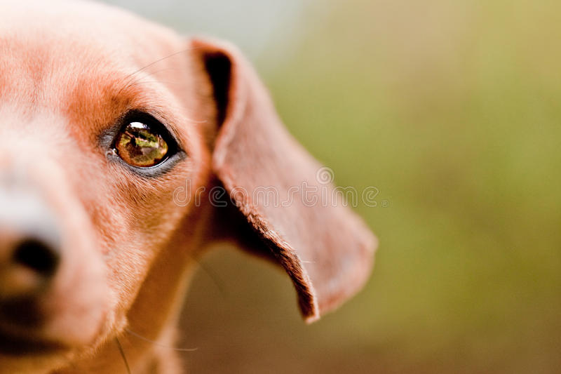 Daschund face. Close up of half a daschund face royalty free stock images