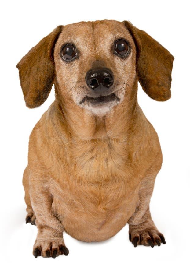Download Daschund Looking Forward stock photo. Image of hound - 30436908