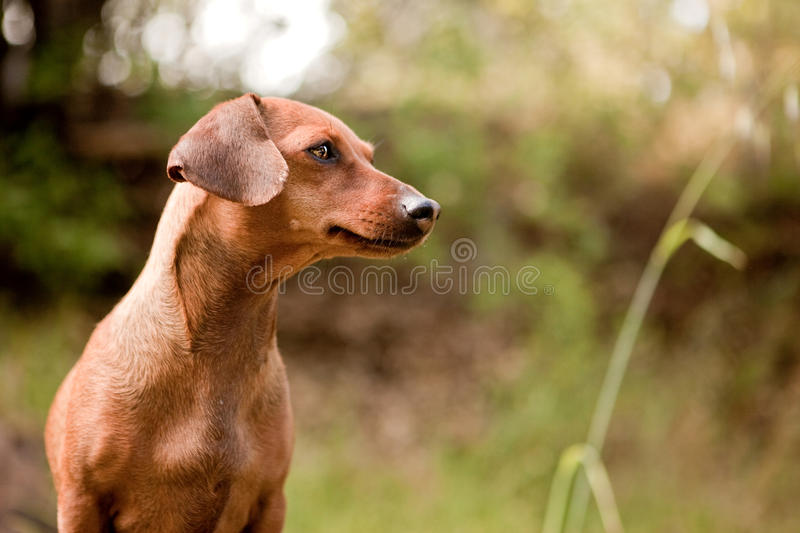 Daschund profile. Profile of daschund in the forest royalty free stock image
