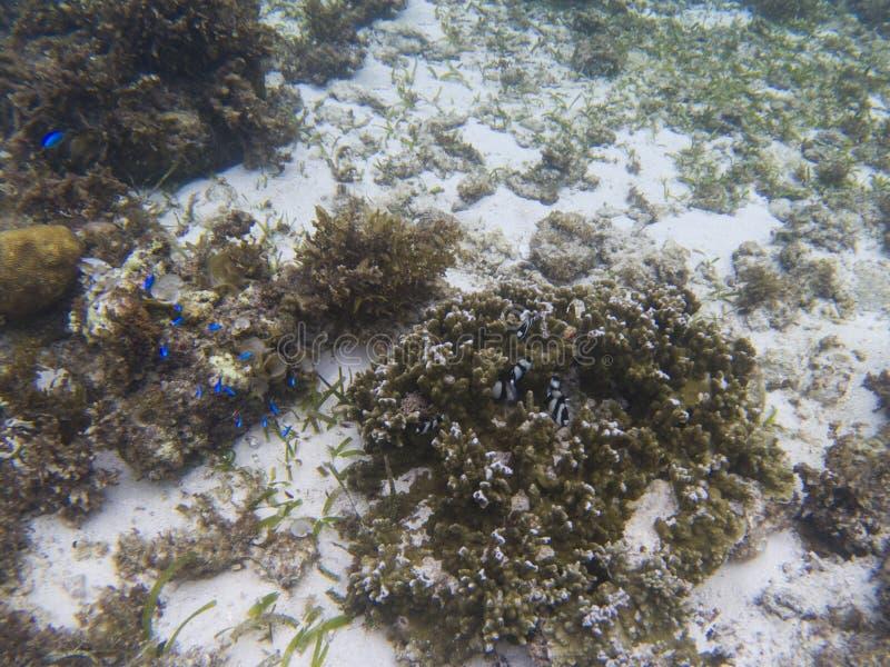 Dascillus-Kolonie in der Koralle Unterwasserfoto der tropischen Küste stockbilder
