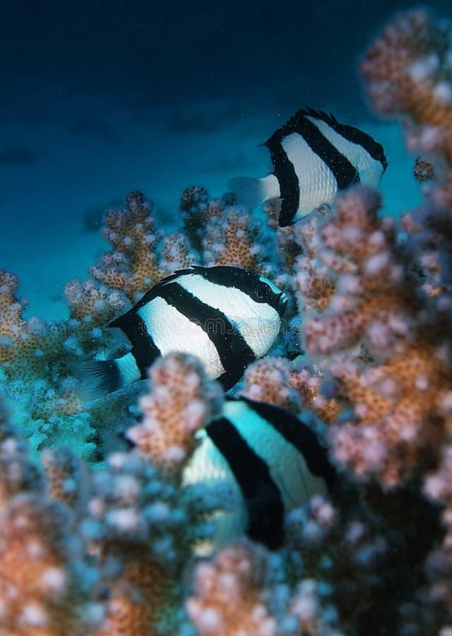 Dascyllus fiskskinn inom reven i Hurghada arkivbilder