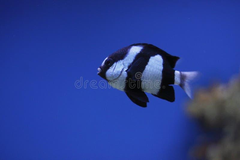 dascyllus whitetail στοκ φωτογραφία