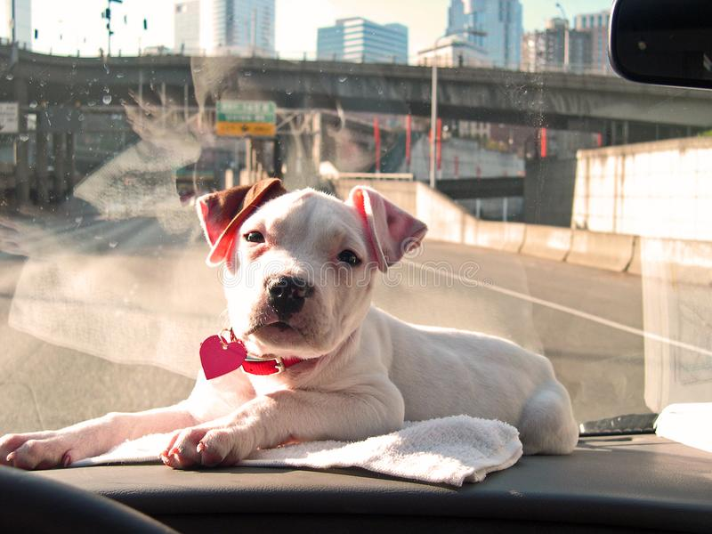 Dashboard Puppy stock image