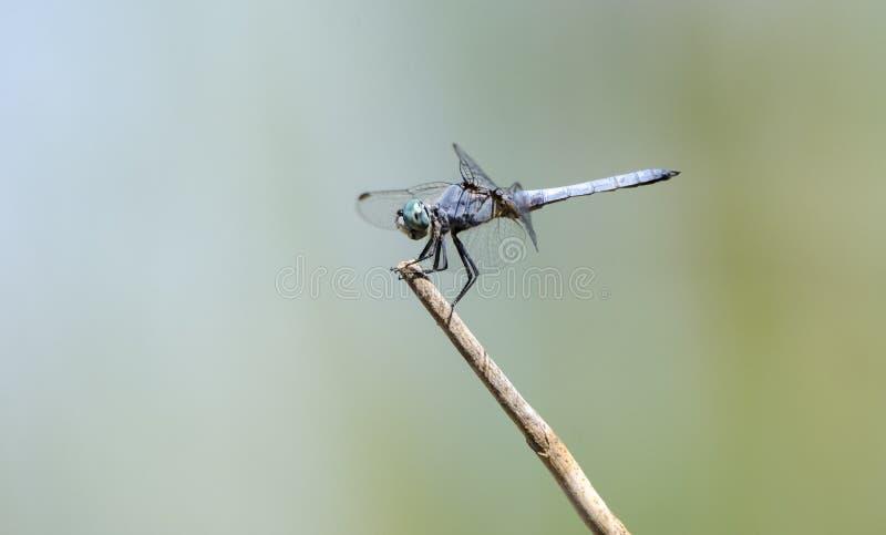 Dasher蜻蜓, Sweetwater沼泽地,图森亚利桑那沙漠 图库摄影