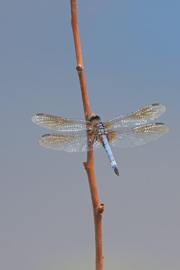 Dasher azul vibrante con alas abierto fotos de archivo