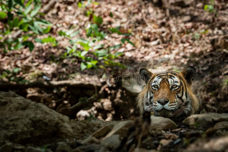An angry royal bengal wild male tiger portrait with an eye contact royalty free stock photos