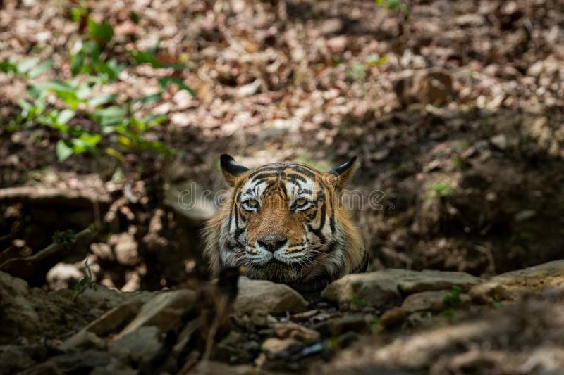 Royal bengal wild male tiger portrait with an eye contact at ranthambore royalty free stock images