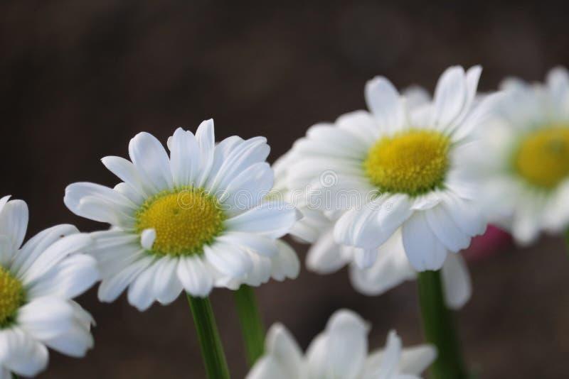 Dasies in un giardino immagini stock libere da diritti