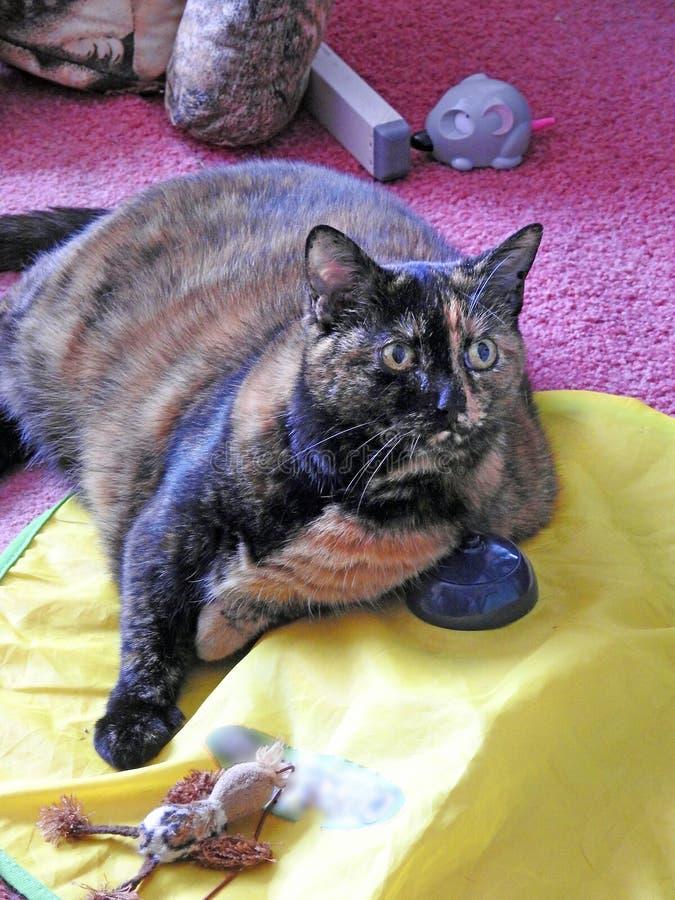 Dasiy de binnenlandse huiskat met haar speelgoed royalty-vrije stock fotografie