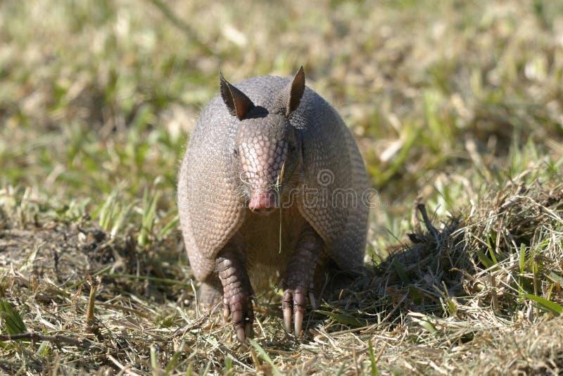 Dasypus novemcinctus, nine-banded armadillo. Looking at you stock images