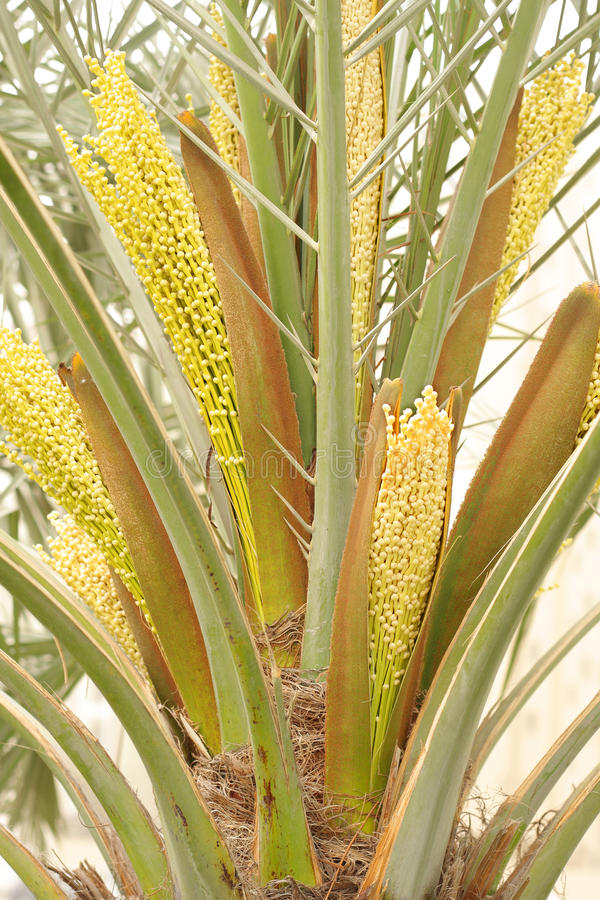 data kwitnie spathe palmowego drzewa fotografia royalty free