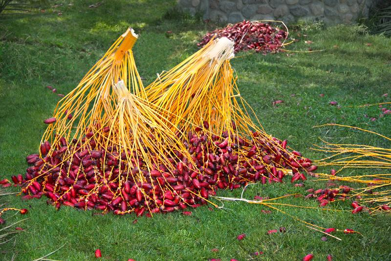 Dataoogst Egypte Takken van rode dadelpalm Tropisch Fruit stock foto's