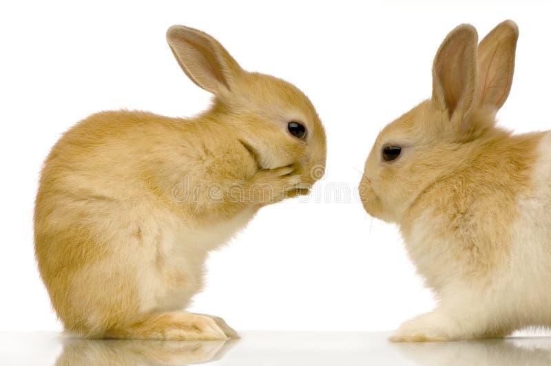 Datar dos coelhos imagem de stock