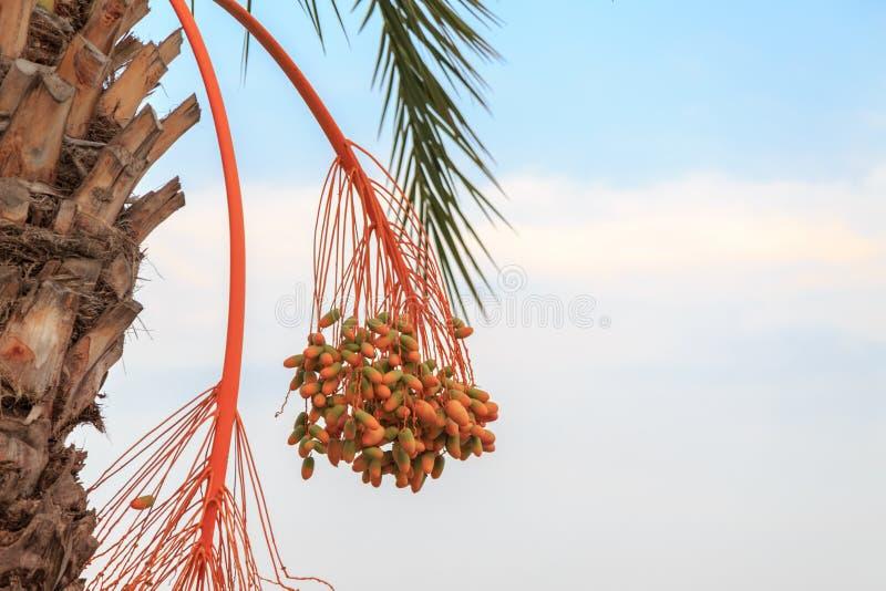 Datas alaranjadas e verdes verdes que penduram no ramo da palmeira imagens de stock royalty free