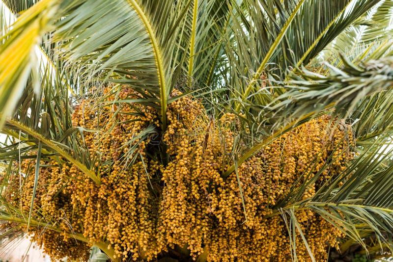 Datas da palmeira da cor ambarina Fim acima natu textured sumário fotografia de stock royalty free