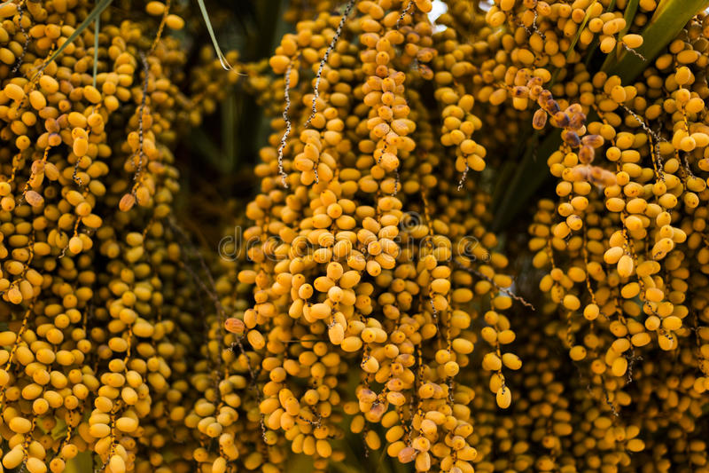 Datas da palmeira da cor ambarina Fim acima natu textured sumário imagem de stock royalty free