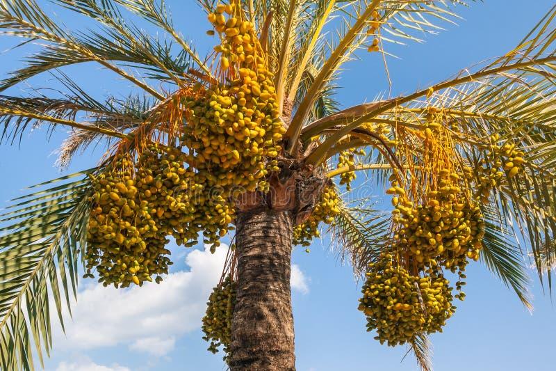 Datas orgânicas maduras na palmeira da data contra o céu azul fotografia de stock