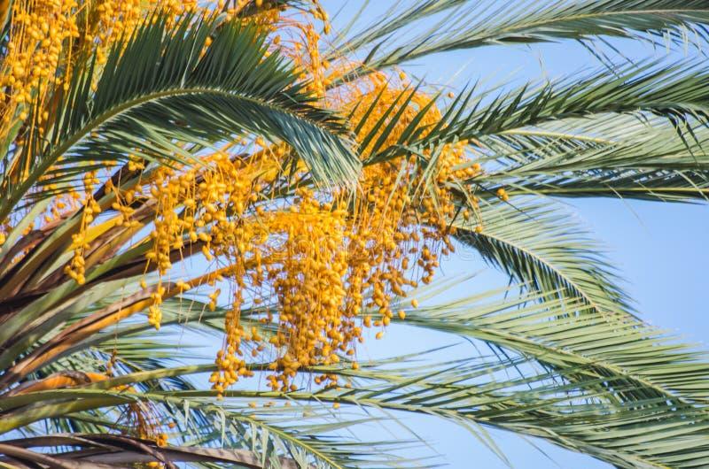 Datas que crescem na palmeira da data foto de stock royalty free