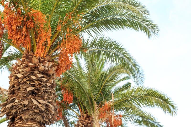 Datas verdes que penduram em palmeiras imagem de stock royalty free