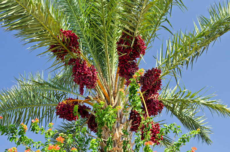 Date's palm near Eilat, Israel. The shot was taken in plantation of date's palms near Eilat, Israel royalty free stock photography