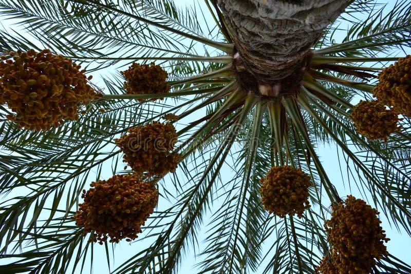 Date della palma fotografie stock libere da diritti