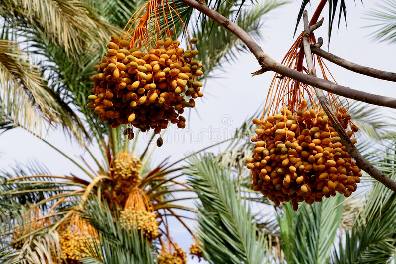 Dates maturing on a palm tree in Morocco. The date is the fruit of the daffodil Phoenix dactylifera fruit typical of Mediterranean Africa, Israel and Western royalty free stock photos