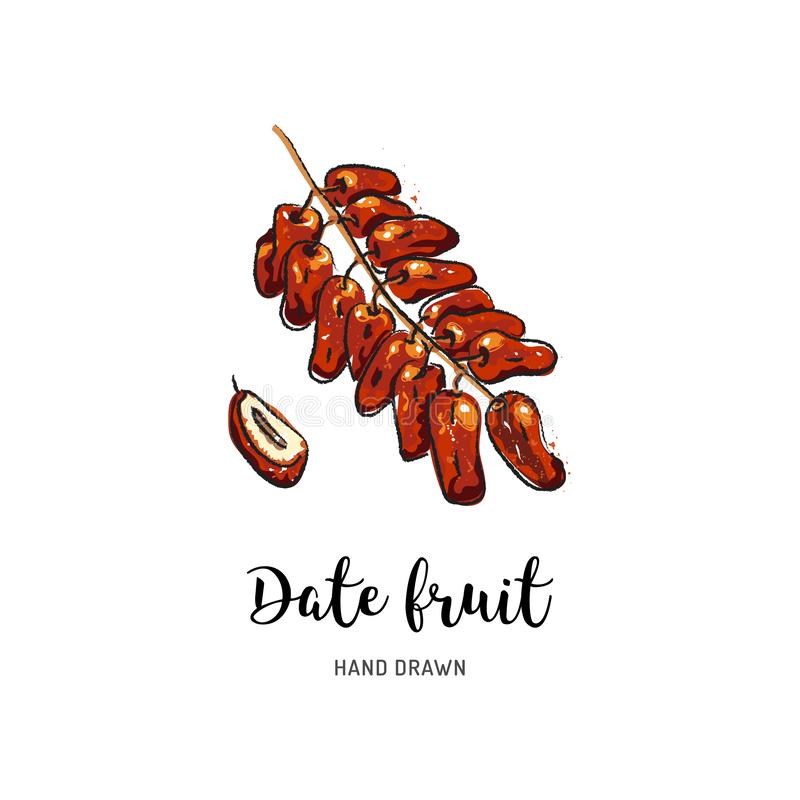 Date fruit drawing, dried dates. Watercolor dates on isolated white background. Vector drawing royalty free illustration