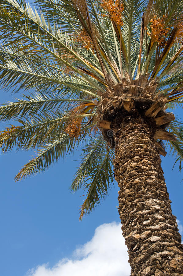 Download Date palm stock image. Image of branch, agriculture, tree - 22150271