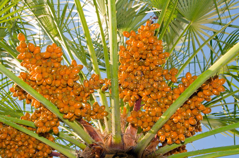 Download Date palm stock image. Image of food, date, fruit, palm - 27053249
