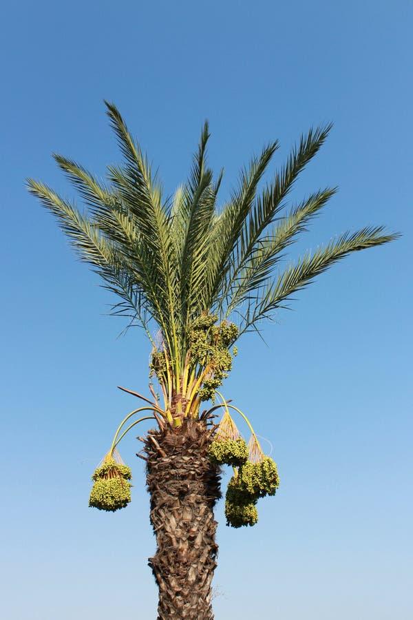 Date Palm